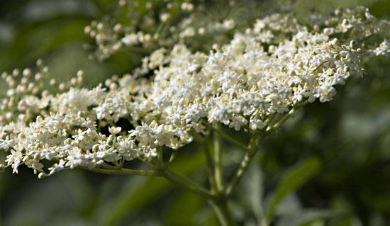 , Aloe e basilico, alleati anti allergie di primavera